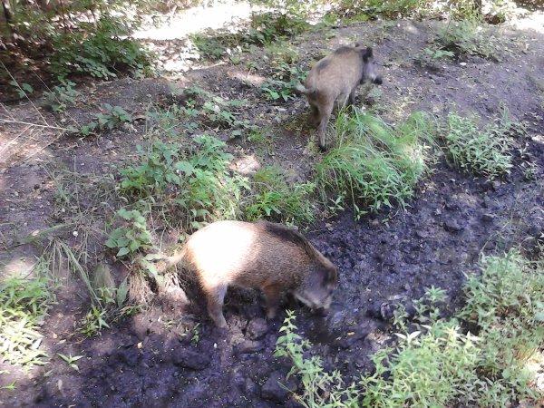 Petite rencontre en forêt de Sénart un dimanche matin (août 2012)