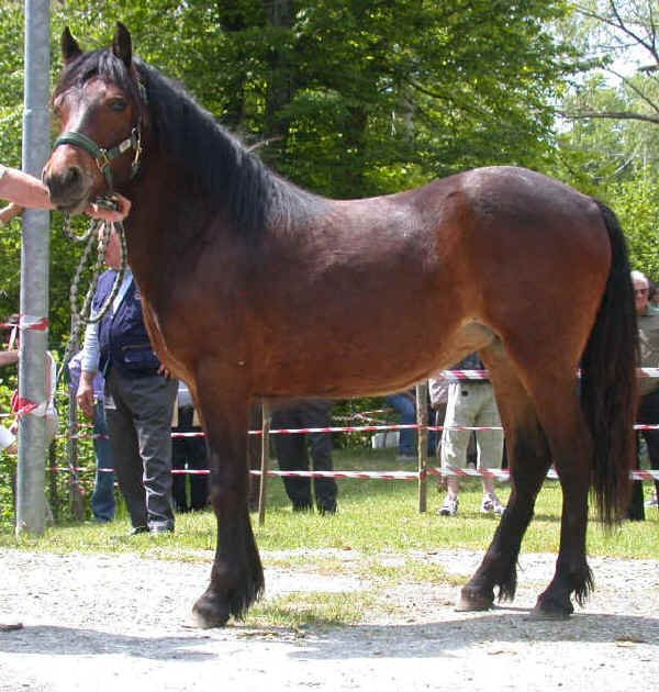 poney italien