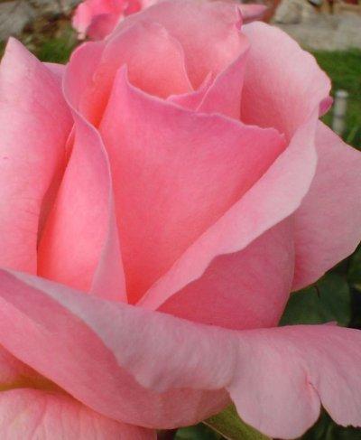 une pensèe pour ma fleur douce