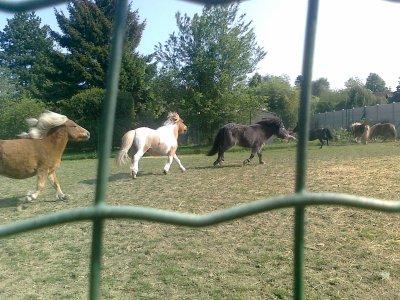 Aujourd'hui  nous avon lacher les poney dans la cariére et on les a fait courire il sont magnifique comme sa