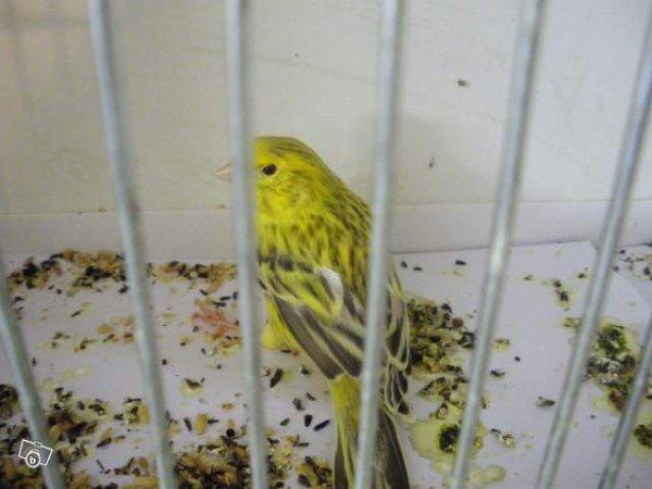 Agate Topaze jaune