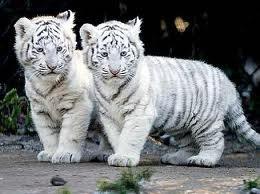 j'adore les tigres....