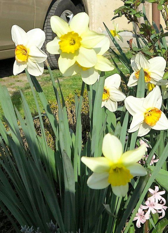 Dans le jardin les jonquilles ressemblent tous à des petits soleils..................  Im Garten sind die weißen gelben Osterglocken den kleinen Sonnen ähnlich.