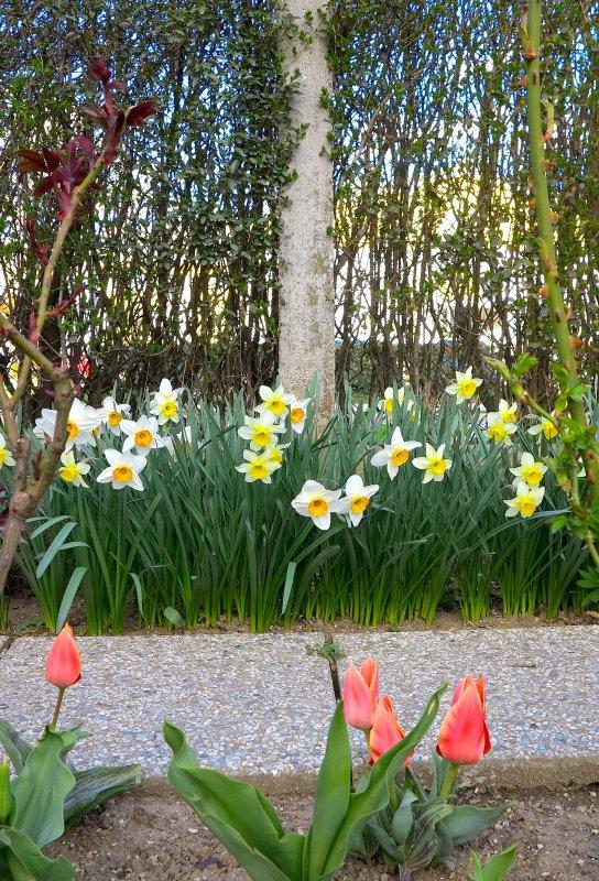 Le long du jardin, narcisses et tulipes bordent  les sentiers en pierre...........  Entlang des Gartens, Narzissen und Tulpen sanft begrenzen die Pfade aus Stein.
