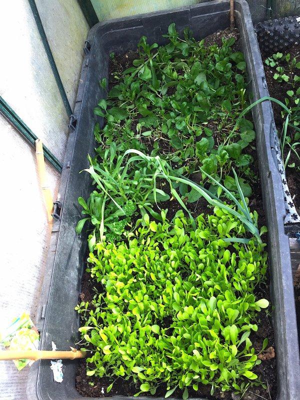 Salades, poireaux et épinards, tous prêts à être transplantés dans le jardin.... Salat, Porree und Spinat; alles ist bereit im Garten gepflanzt zu sein.