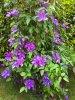 Les clématites Madame N. Thompson, chaque année en  pleine floraison.........  Die Klematis Frau N. Thompson wie jedes Jahr, voll in Blüten.