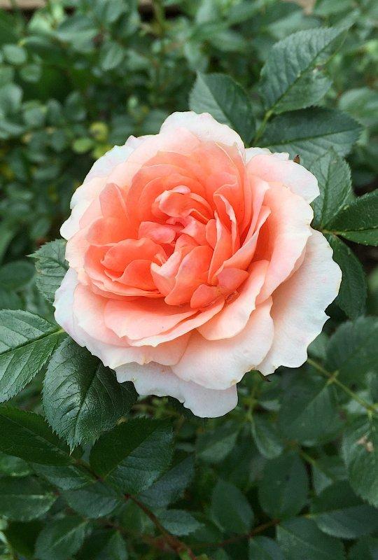 """La rose """"Leander"""" dans toute sa beauté; l'été a vraiment commencé............ Die Rose """"Leander"""" in ihrer ganzen Schönheit; der Sommer hat wirklich angefang"""