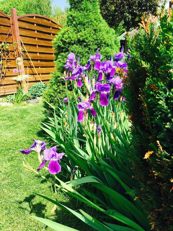Le genre Iris contient 210 espèces et d'innombrables variétés horticoles........  Die Gattung Iris enthält 210 Arten und unzählige gärtnerischen Sorten.
