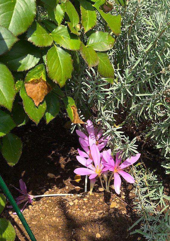 Sous les roses et sous la lavande apparaissent maintenant les colchiques.  Jetzt unter den Rosen und unter dem Lavendel  die Herbstzeitlosen erscheinen.
