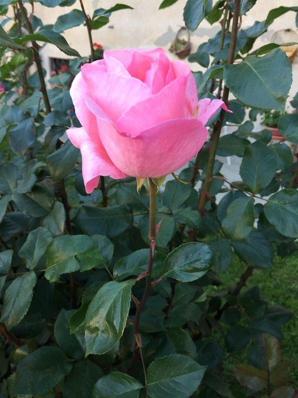 Elisabeth II, simple, noble, telle est la rose au nom de la reine d'Angleterre.  Elizabeth II, einfach, schön und edel, ist die Rose im Namen der Königin von England.