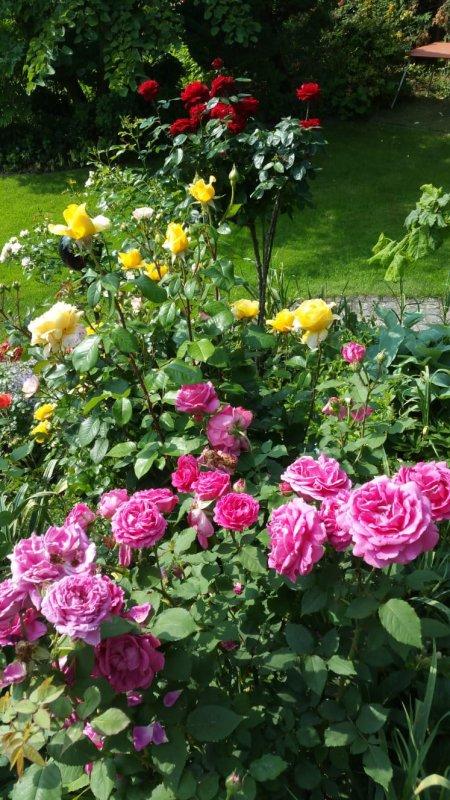 Le sud du verger à droit lui aussi à une île de roses de couleurs différentes. Der Süden der Obstgarten darf auch eine Insel anderer Farbrosen besitzen.