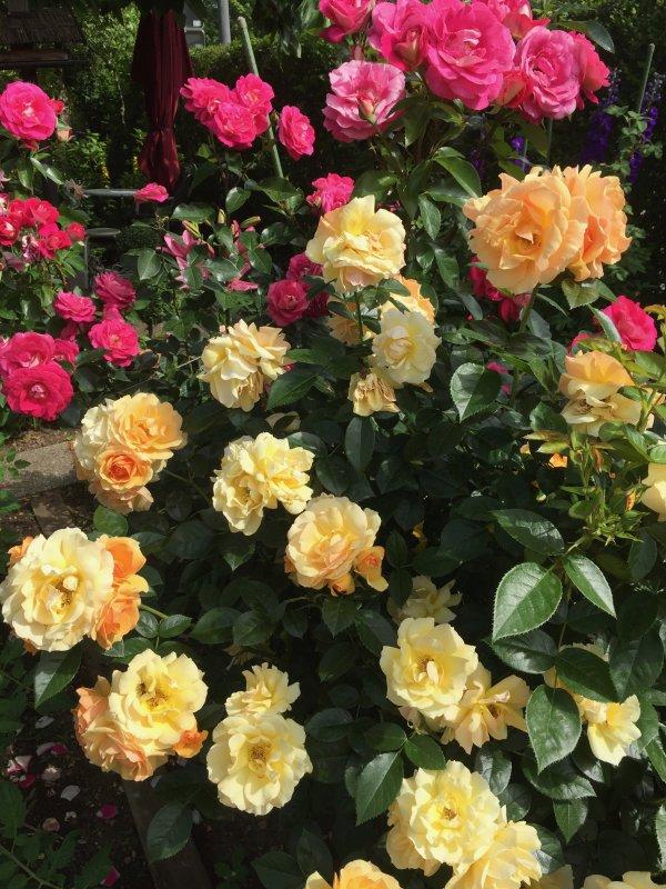 Toujours encore des roses, mais cette fois plus petites qu'au printemps. Immer noch Rosen, aber dieses Mal kleiner als im Frühling.