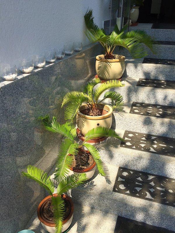 Les cycas sur les marches d'entrée de la maison se portent à merveille....... Die cycas auf den Eingangsstufen des Hauses fühlen sich ausgezeichnet.