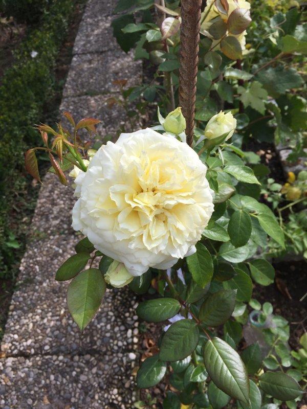 """Une rose """"citronnelle"""" fleuri encore et,  son parfum est encore enchanteur.    Die Rose """"Citronnelle """" blüht noch undihr Parfüm ist noch zauberhaft."""