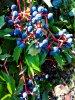 Un arbuste qui fleurit et donne des fruits qu'adorent les oiseaux ...................  Ein Strauch, der blüht und diese Früchte gibt, die die Vögel der Gegenden anbeten.