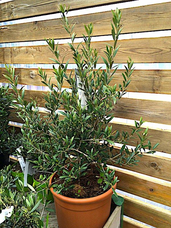 Il faut rentrer cette plante, on annonce du froid, elle ne le supporterait pas... Es ist Zeit, diese Pflanze rein zu bringen, Kälte wurde angekündigt, sie würde es nicht ertragen können.