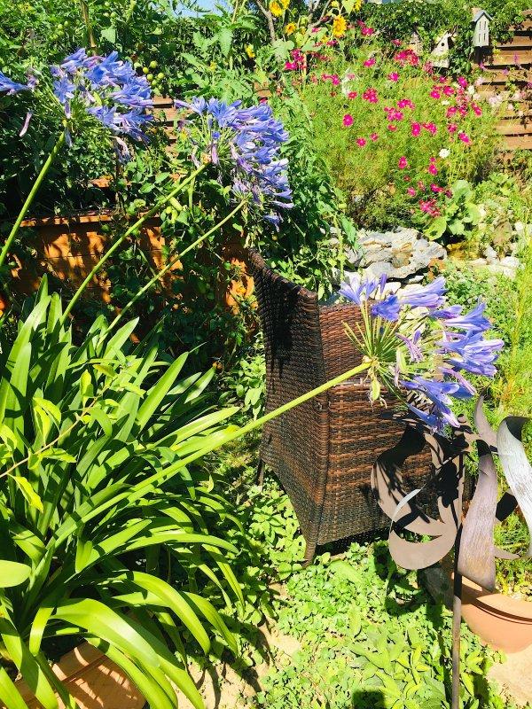 Avec beaucoup de retard les agapanthes  (lys africain) fleurissent enfin....... Mit grosser Verspätung blühen endlich die Schmucklilien (Afrikanische Lilien).
