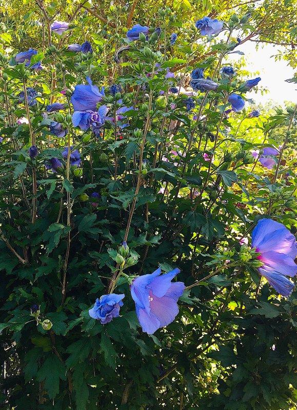 Le petit arbuste d'hibiscus bleu-mauve pousse maintenant comme jamais . Der kleine blaulila Hibiskus-Strauch wächst jetzt wie nie zuvor.