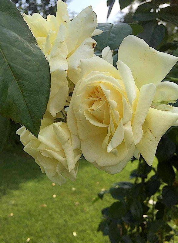 "Le rosier ""Citronella"" donne encore et toujours de superbes roses pastel....... Der Rosenstock Zitronella"" gibt immer wieder schöne pastellige Rosen."