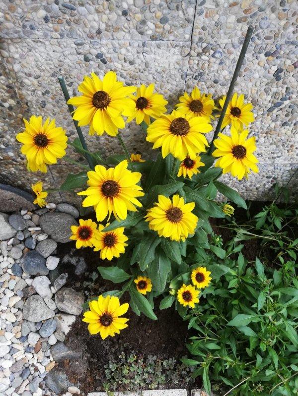 Voici des petites fleurs qui illuminent ce petit coin bien sombre du verger....... Das sind kleine Blüten, die dieses dunkle Plätzchen im Obstgarten erhellen.