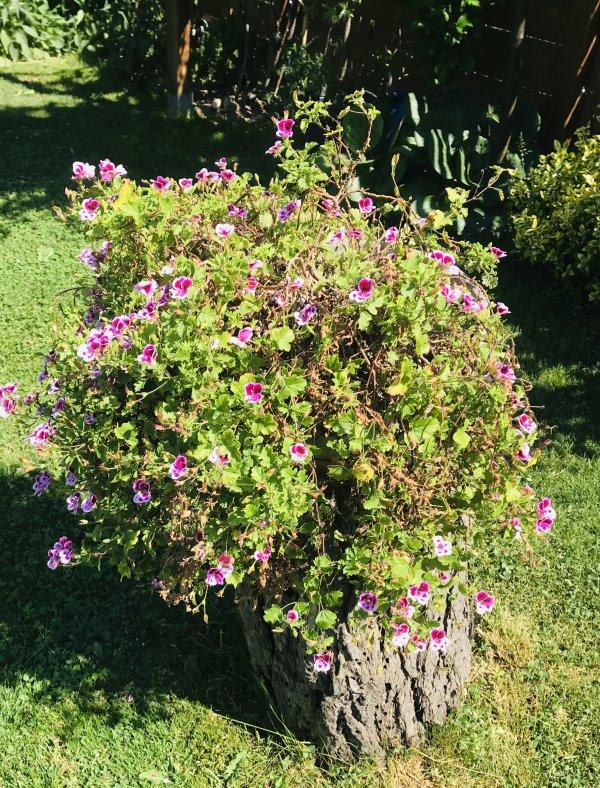 Une plante sur un vieux tronc  pour changer de l'exactitude du jardin........... Eine Pflanze auf einem alten Baumstamm des Obstgartens, um die Genauigkeit des  Gartens zu ändern.
