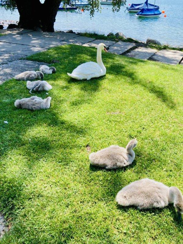 Découverte d'une famille de cygnes lors d'une longue promenade avec Ma-Belle .  Entdeckung eine Schwanenfamilie bei einem langen Spaziergang mit Ma-Belle.