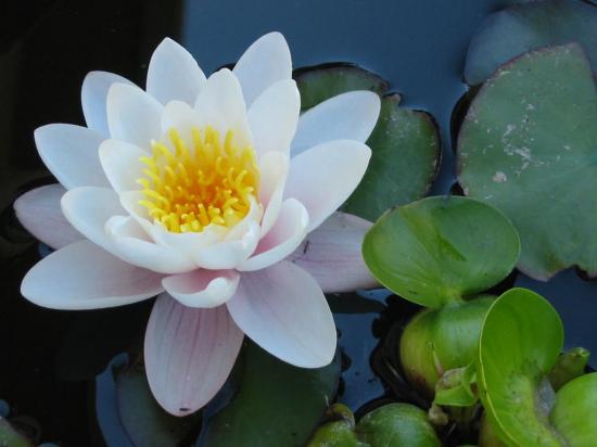 parce qu'un jour petite fleur de lotus sera grande