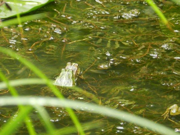 1juillet et les grenouilles