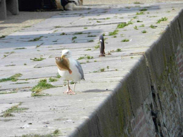 13juillet au treport l oiseau et le poisson