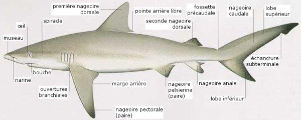 Anatomie interne et externe du requin