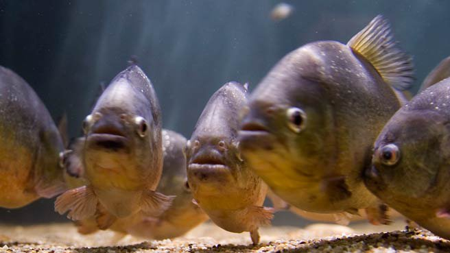 60 hurt in Argentina piranha attack