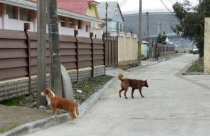 Sotchi 2014: Quand les chiens errants envahissent la ville des Jeux