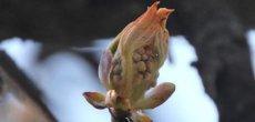 Genève: Le printemps arrive, parole de marronnier