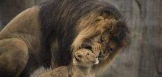 Afrique du Sud: Manifs contre la chasse au lion en conserve
