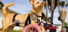 Etats-Unis: Daisy, la chienne qui se balade en fauteuil roulant