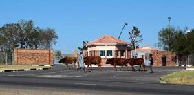 Afrique du Sud: Les autorités au secours des vaches de Mandela