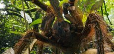Nez à nez avec une mygale de la taille d'un chiot