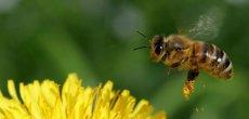 Des millions de morts si les abeilles disparaissent