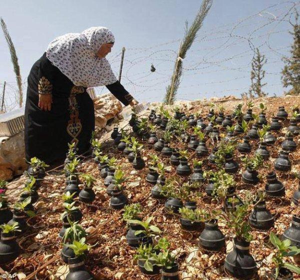 إمرأة فلسطينية تقوم بغرس الأزهار في قاروراة أو حاوياة الغاز المسيل للدموع الذي طبعا أستعمل ضد الفلسطينين...