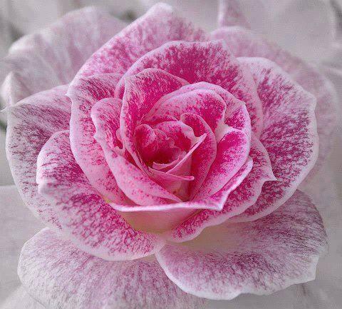 Les Roses Le Monde Est Fait De Belles Fleurs