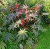 Plante persistante cultivée en annuelle