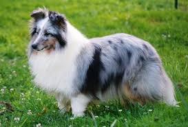 chien border colli 2