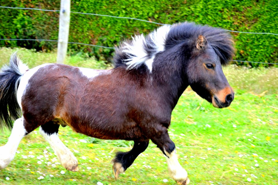 L'univers D'un poney Miniature