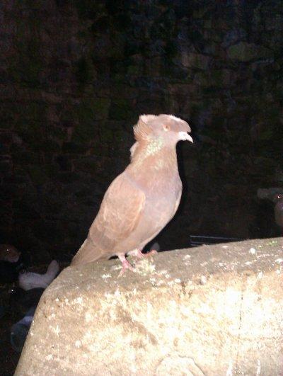 Pigeons Tambours De Franconie