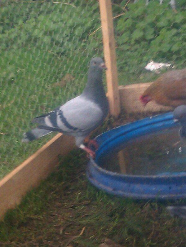 jeune pigeon voyageur