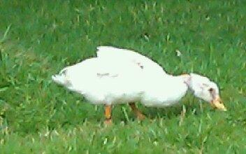 canard cou-nu blanc