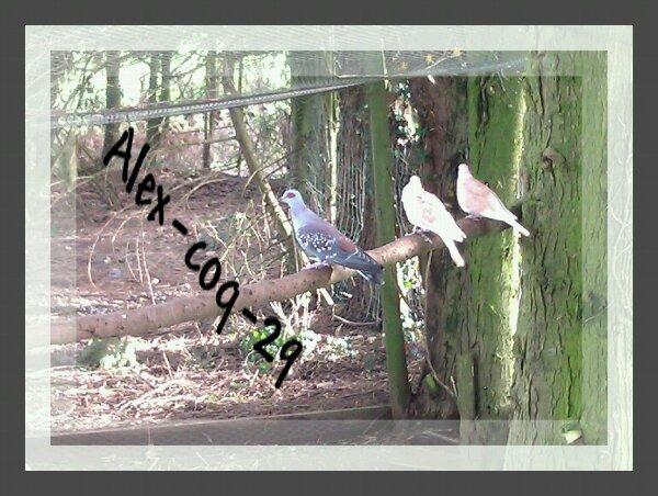 Pigeon de guinée