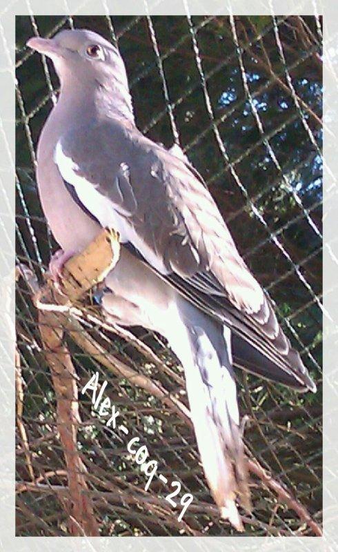 pigeons à lunette