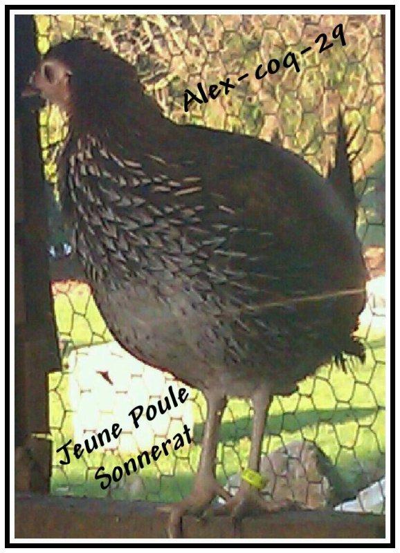jeune poule Sonnerat