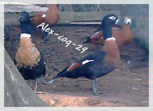 Tardorne (carsarca) d'Australie et tête rousse